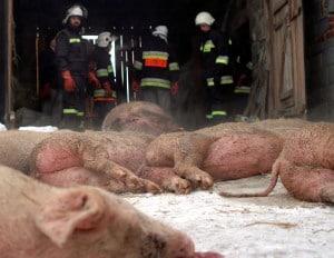 Dym zabił świnie – galeria ZDJĘĆ już dostępna