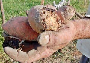 Zapłacimy więcej, ziemniaki gniją