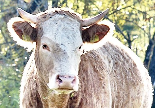 Możesz spotkać w lesie byka